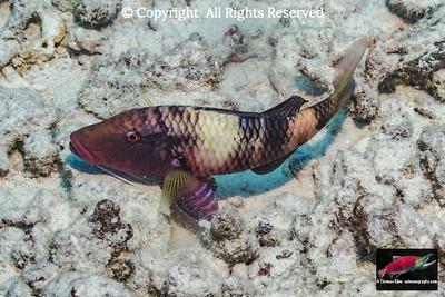 Manybar Goatfish releasing sand through its gill slits