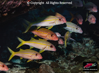 Schooling Yellowfin Goatfish