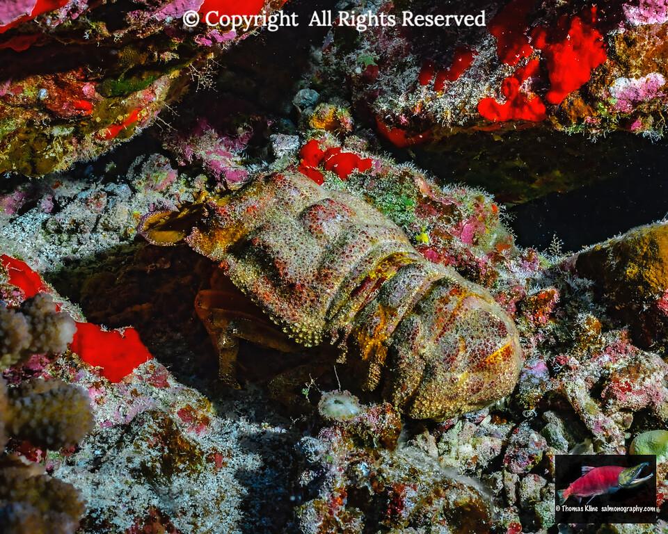 Ridgeback Slipper Lobster (Scyllarides haanii)