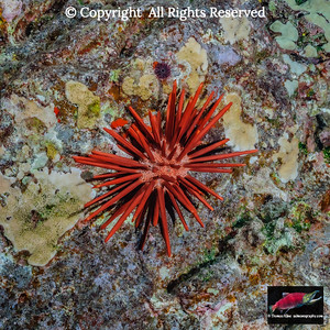 Red Slate Pencil and Needle-spined urchins