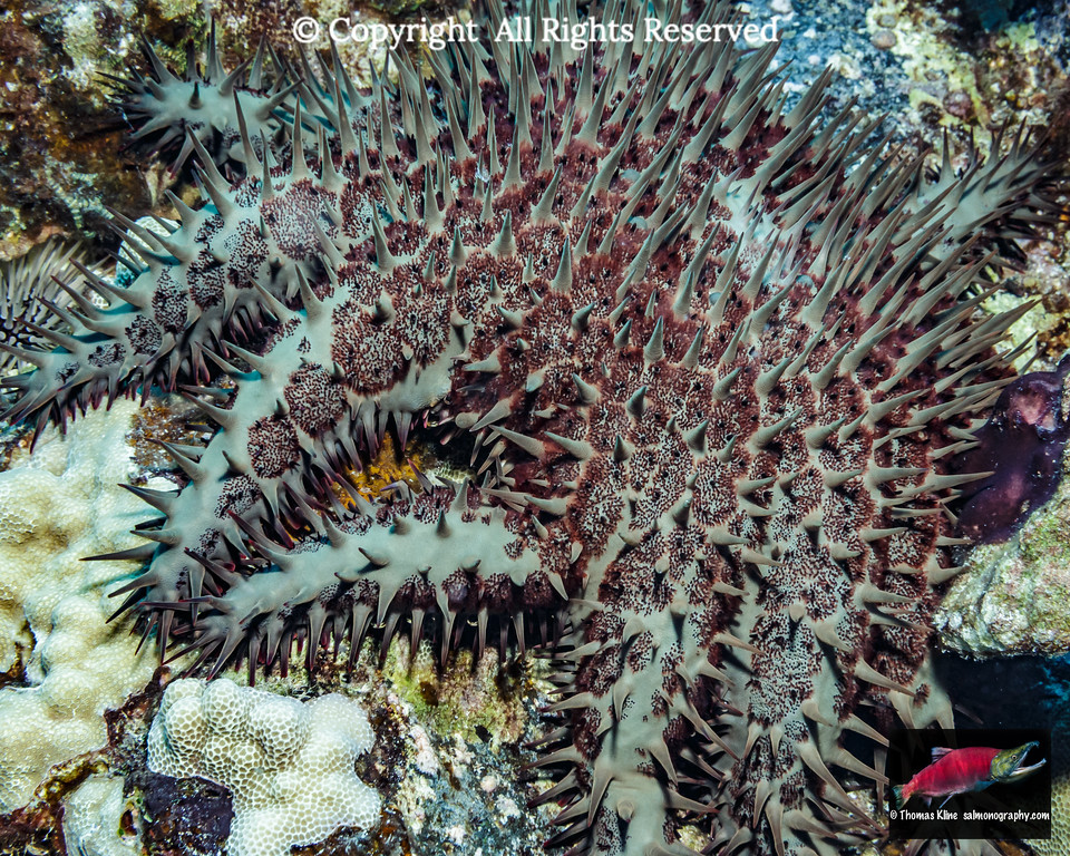 Crown-of-thorns sea star attacking its prey