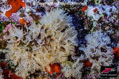 Orange Lacy Bryozoan