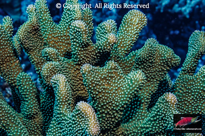 living and healthy antler coral