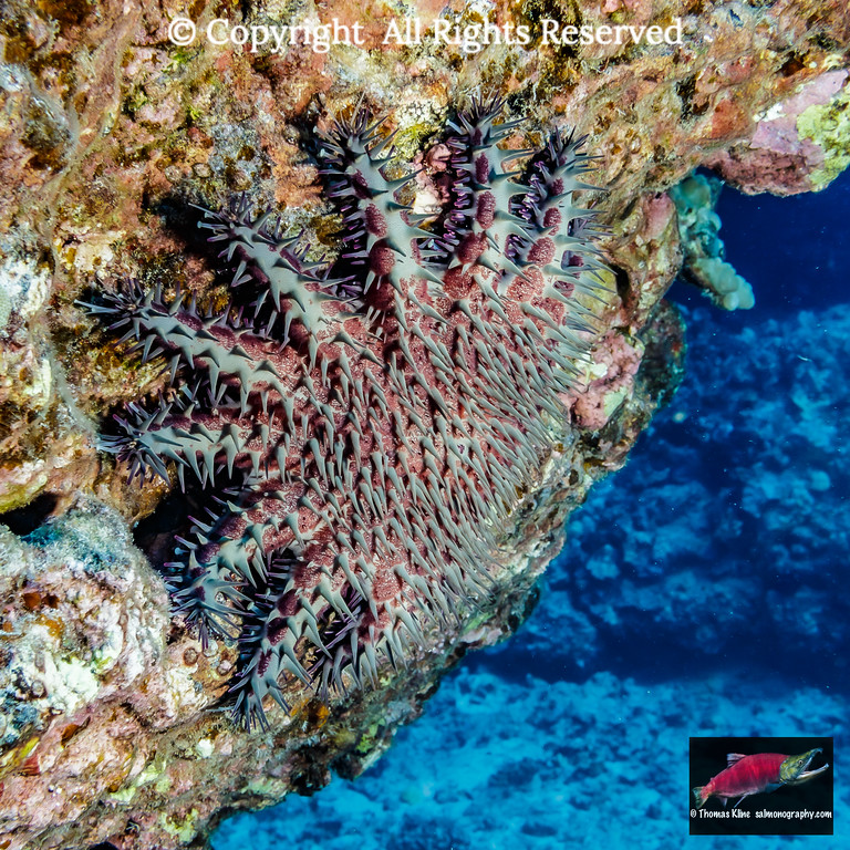 Crown-of-Thorns Starfish or Sea Star