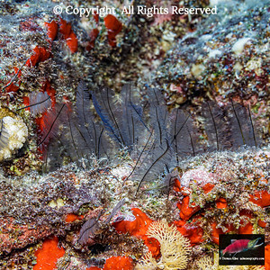 Feather Hydroids
