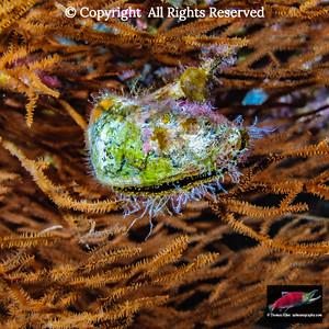 Winged Pearl Oyster growing on Hawaiian Black Coral