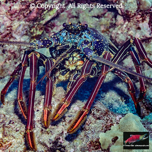 Tufted Spiny Lobster