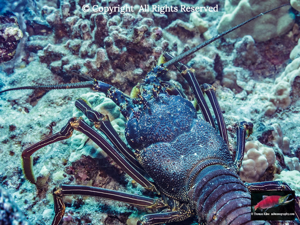Tufted Spiny Lobster crawling about on a Hawaiian reef.