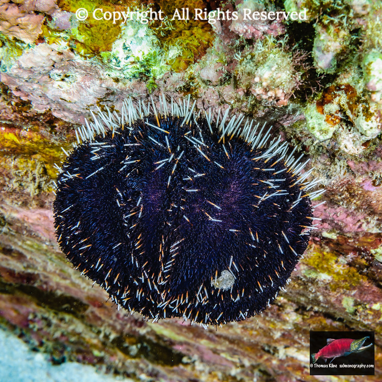 Collector Urchin (Tripneustes gratilla)