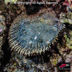 Hawaiian Pearl Oyster
