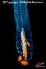Siphonophore Agalma okeni taken during a blackwater scuba dive