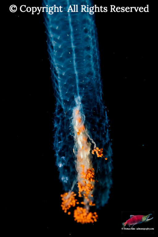 Siphonophore Agalma okeni taken during a blackwater scuba dive