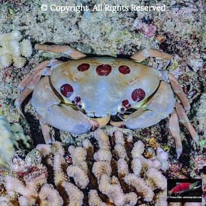 7-11 Crab