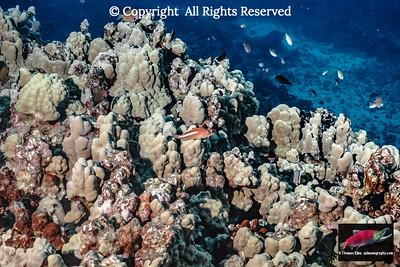 Kona Porites reef