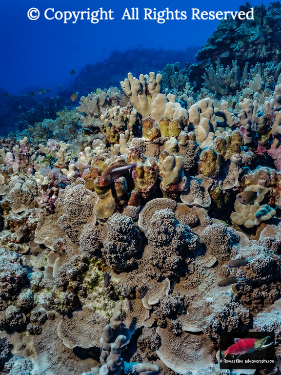 Hawaiian coral reef