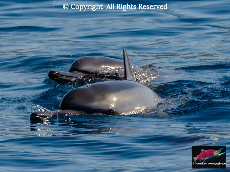 Spinner dolphins surfacing