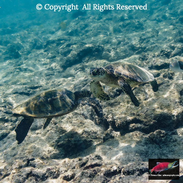 Green Turtles searching for food