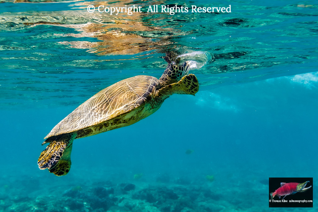 Green Sea Turtle catching a breath of air