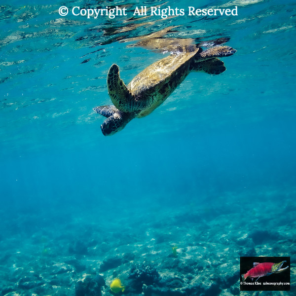 Diving Green Sea Turtle