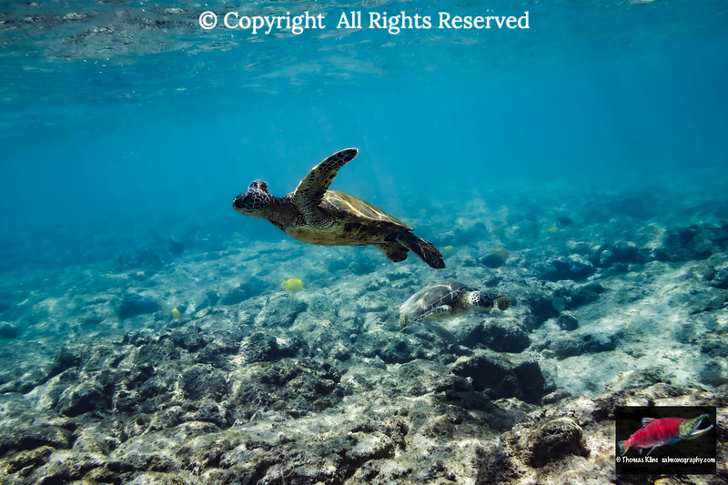Green Turtle going to the surface to catch a breath of air