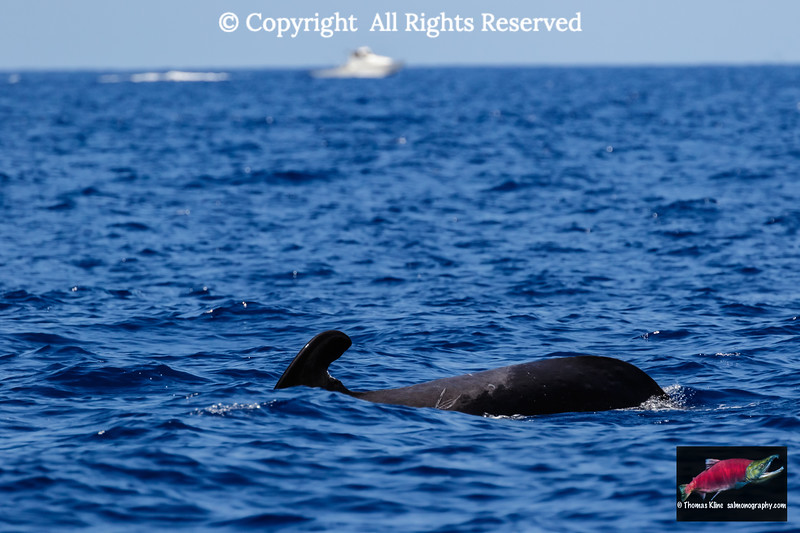 Pilot whale passing a sports fishing vessel