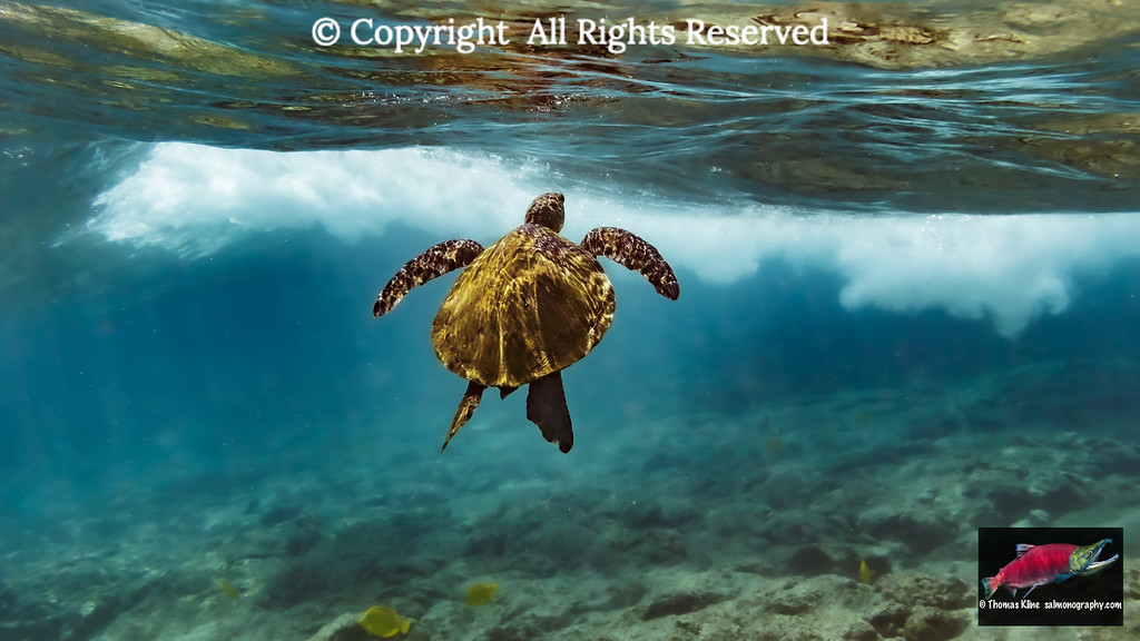Green Sea Turtle going to the surface to catch a breath of air