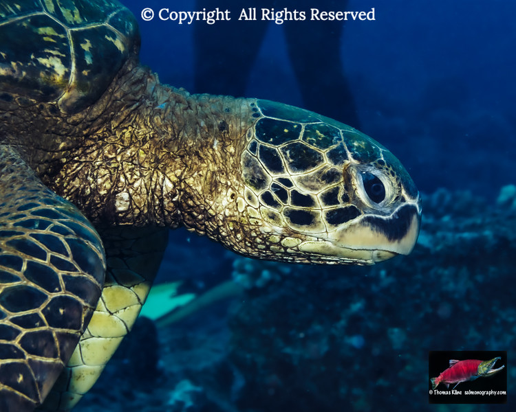 A Green Sea Turtle swims by