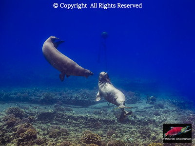 Hawaiian Monk Seal teritoriality