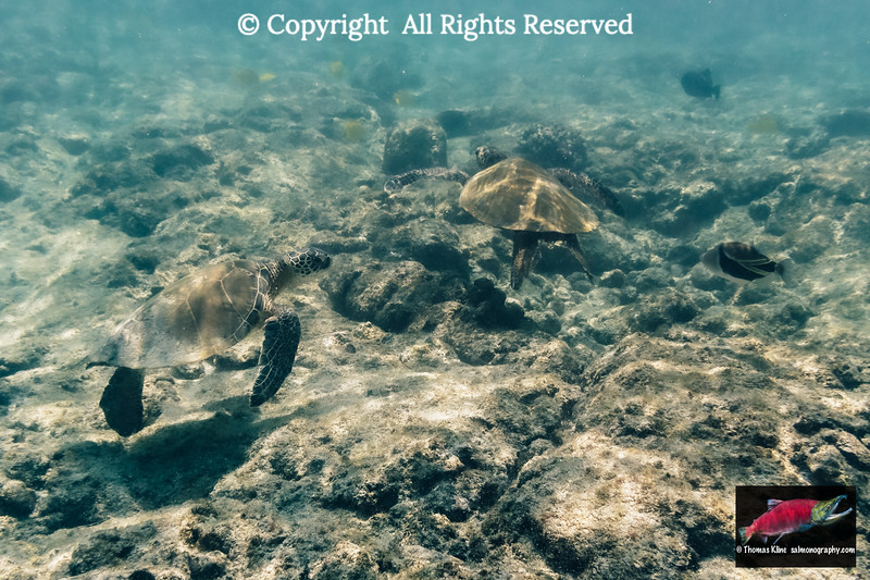 Green Sea Turtles searching for food