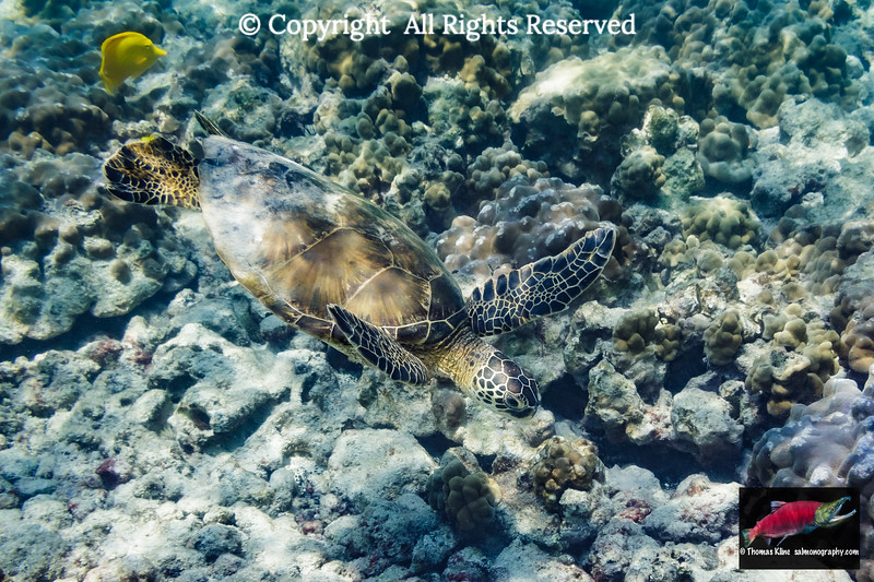 Green Sea Turtle searches for food