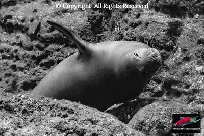 Endangered Hawaiian Monk Seal on submarine lava rock