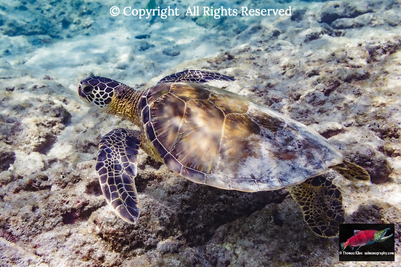 Green Turtle searches for food