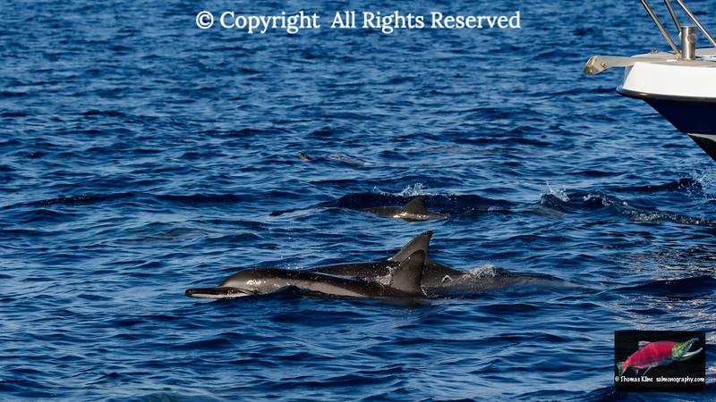 Spinner dolphins in front of a boat