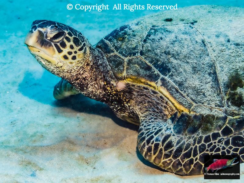 Green Sea Turtle resting on a sandy bottom