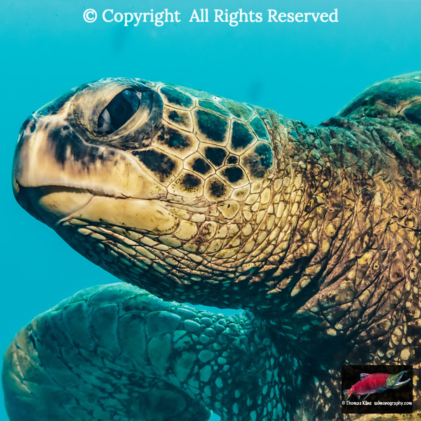 Close-up underwater view of a Green Sea Turtle