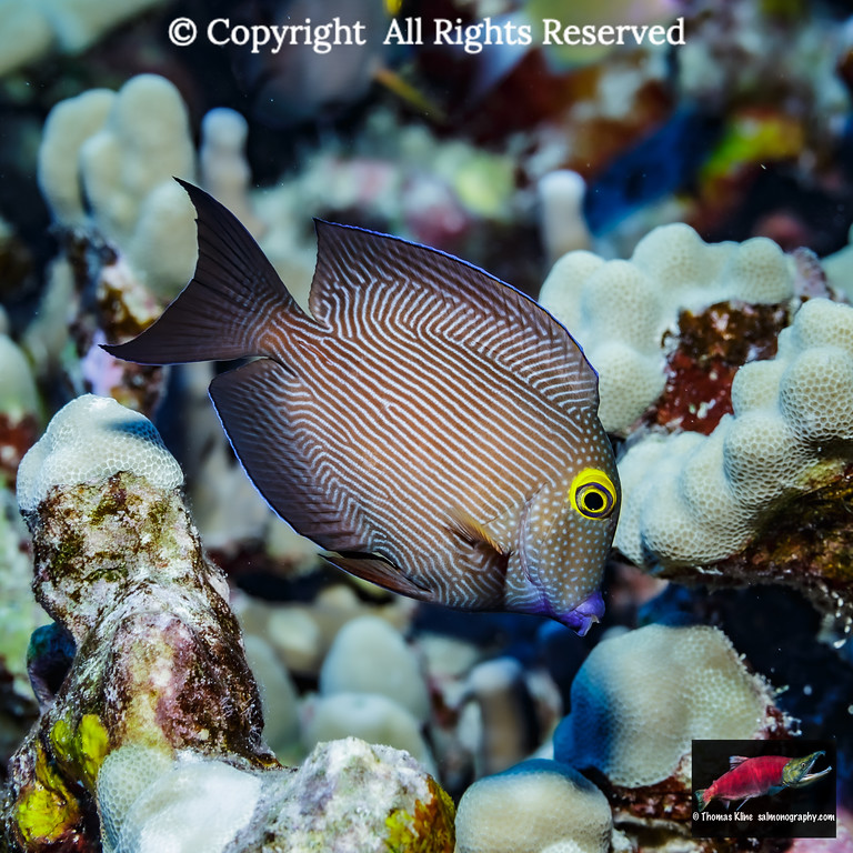 Goldring Bristletooth foraging near lobe coral