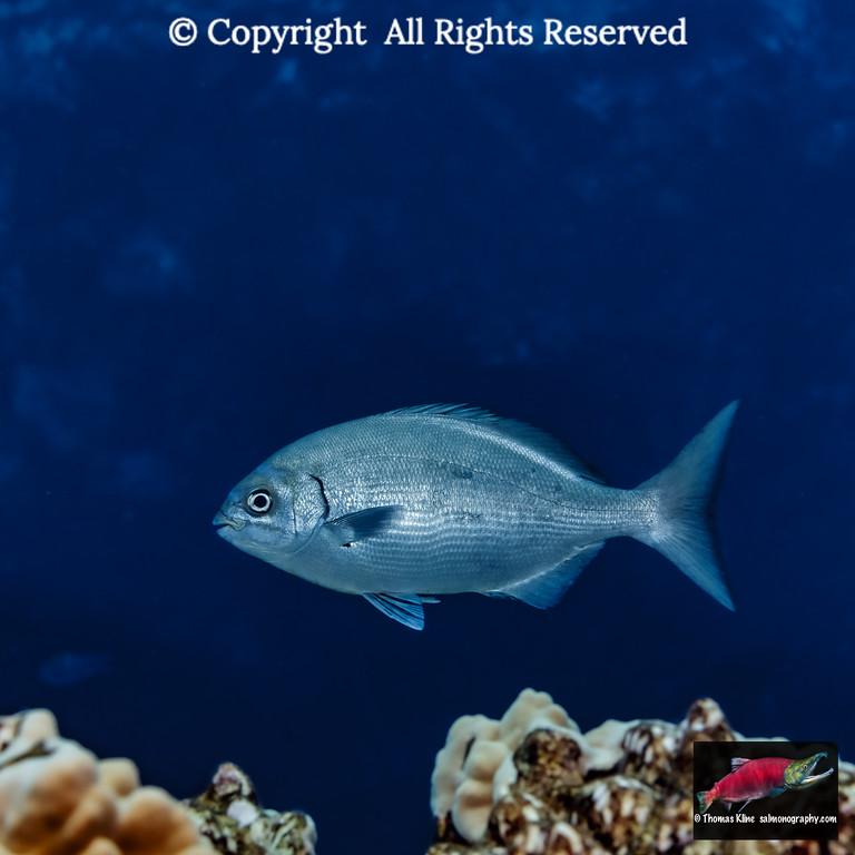 A Gray Chub swims by
