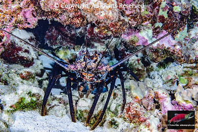 Hawaiian Spiny Lobster