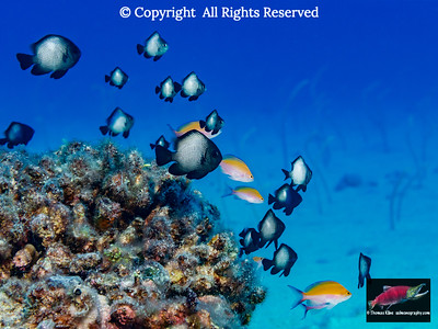 Hawaiian Dascyllus and Bicolor Anthias