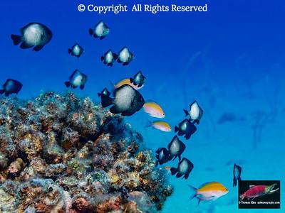 Hawaiian Dascyllus and Bicolor Anthias