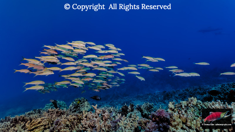 Yellowfin Goatfish school and two Bottlenose Dolphin