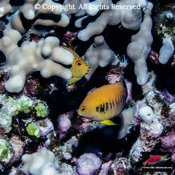 Potter's Angelfish pair lurking in finger coral