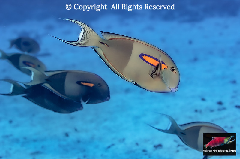 Orangeband Surgeonfish