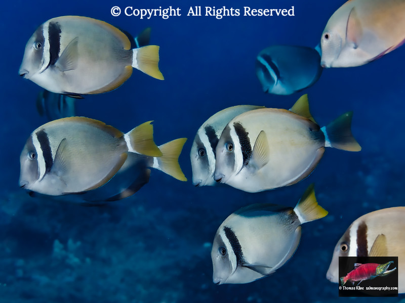Schooling Whitebar Surgeonfish swim by.