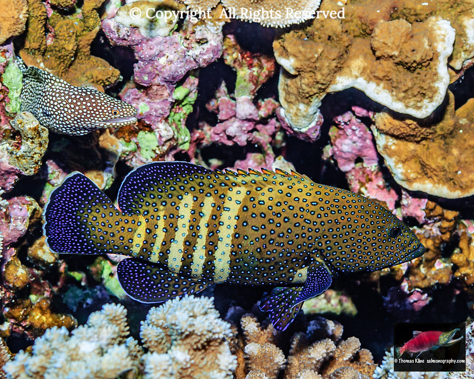 Peacock grouper & Whitemouth Moray Eel