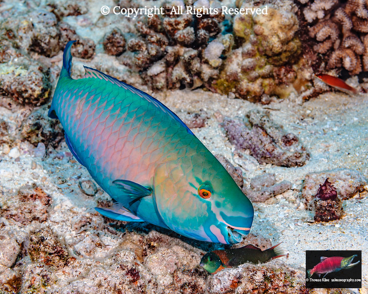 Redlip Parrotfish & Saddle Wrasse