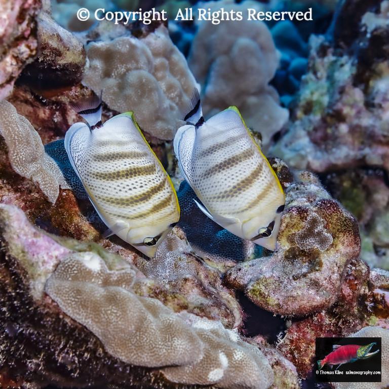 Multiband Butterfyfish