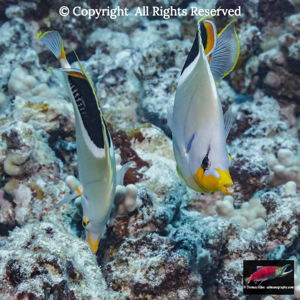 Saddleback Butterfyfish  pair