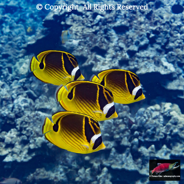 Four Racoon Butterfyfish swim by