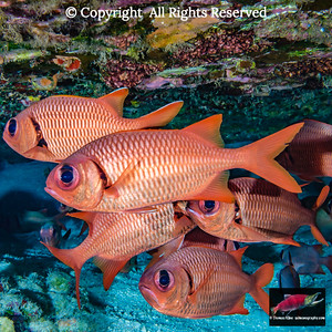 Brick and Bigscale soldierfishes